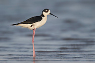 Black-necked Stilt - Himantopus mexicanus - Adult male