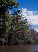 Southern bottomland forest along the Apalachicola River near the mouth of Kennedy Creek, Apalachicola National Forest, Florida.