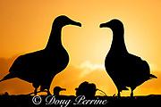 Black-footed albatross, Phoebastria nigripes, courtship dance at sunset, Sand Island, Midway Atoll, Midway National Wildlife Refuge, Papahanaumokuakea Marine National Monument, Northwest Hawaiian Islands, USA ( North Pacific Ocean )