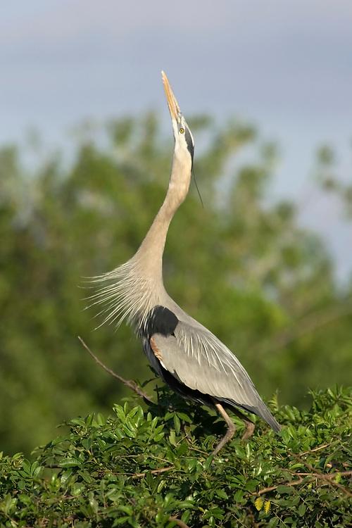 Great Blue Heron - Ardea herodias - adult displaying at nest site