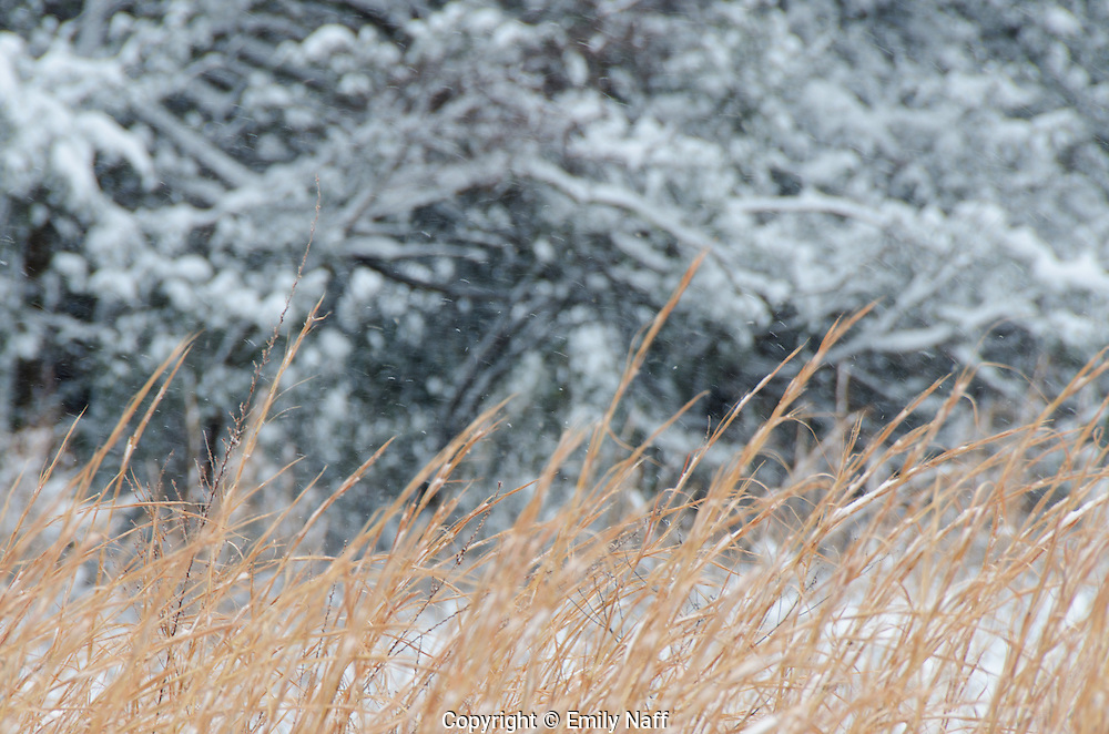The warm tones of the switch grass contrast with the cooler tones of the snow covered branches in the background.