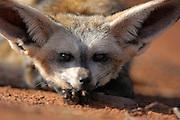 Bat-eared fox (Otocyon megalotis) | Trotz der enormen Größe seiner Ohren gehört der Löffelhund (Otocyon megalotis) weltweit zu den kleinsten Vertretern der Hundeartigen. Mit einem Körpergewicht von 3 bis 4 kg ist er eher vergleichbar mit einer Hauskatze. Genetisch gesehen ist er allerdings noch erstaunlicher, denn er unterscheidet sich stärker als zu erwarten wäre von seinen Verwandten, den Füchsen und den Wölfen. Die im südlichen Afrika lebenden Löffelhunde werden oft auf Farmland am Rande der Wüste (z.B. der Namib) angetroffen, da durch die Besiedlung und Nutzung dieser Gebiete die großen Raubtiere wie z.B. Löwen, Leoparden und Geparden praktisch völlig verdrängt worden sind..|