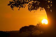 Sun, sunset, baobab tree, Tarangire National Park Tanzania, © David A. Ponton