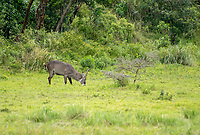 Male Common Waterbuck, Kobus ellipsiprymnus, grazing in Arusha National Park, Tanzania