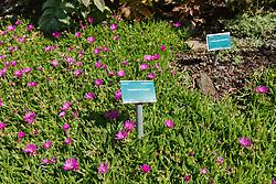 Trailing Iceplant, Delosperma cooperi