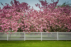 beautiful Cherry Blossom trees behind a white fence in East Hampton, NY
