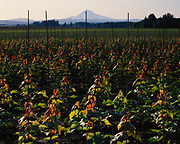 Ornamental maples planted for nursery stock with 11,234-foot Mount Hood beyond, Sandy, Oregon.