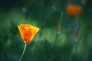 California poppies (Eschscholzia californica) blow in the wind in a garden in Seattle, Washington.