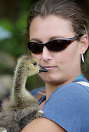 Maura Grassi of Department of Environmental Conservation (DEC) holds a Canada goose gosling at Fancher-Davidge Park in Middletown during a tagging operation on Thursday, June 27, 2013. The DEC used canoes and kayaks to round up 131 geese at the park and then banded the geese that did not already have bands. Geese are banded in late June and early July because they are molting and unable to fly.
