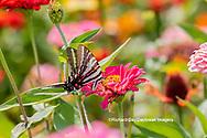 03006-00415 Zebra Swallowtail (Protographium marcellus) on Zinnia Union Co. IL