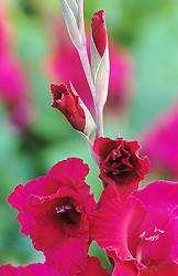 Gladiolus 'Plum Tart'