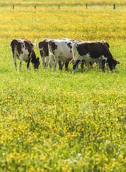 THEMENBILD - Kühe grasen auf einer Wiese mit gelben Hahnenfussblumen, aufgenommen am 23. Mai 2019, Kaprun, Österreich // Cows graze on a meadow with yellow buttercup flowers on 2019/05/23, Kaprun, Austria. EXPA Pictures © 2019, PhotoCredit: EXPA/ Stefanie Oberhauser