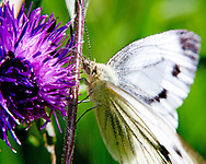 A Macro close up Photograph of a Piers Rape or common Small White Cabbage Butterfly found all over the United Kingdom and Europe. We have a very highly detailed image of the butterfly as it rests next to a bright purple flower with a green background. This image shows us in high detail the butterflies body, antenna, wings and legs as it rests in the wild.