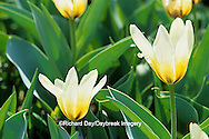 65021-02608 Lily-flowered Tulip (Tulipa White 'Triumphator') Missouri Botanical Garden, St Louis  MO