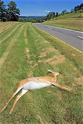 Dead White-tailed Deer Hit By Vehicle