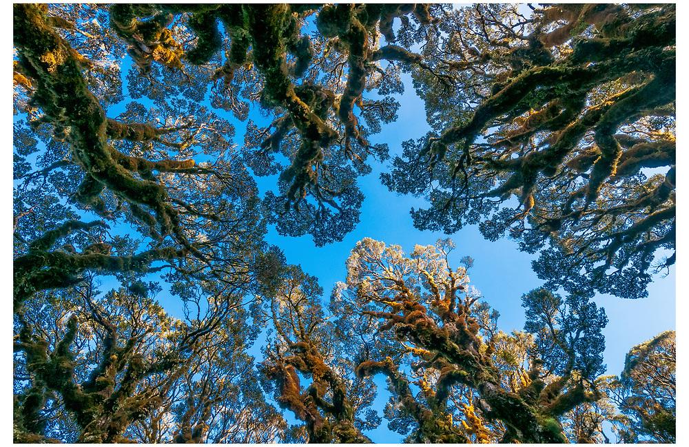 Beech Trees, Mount Aspiring National Park, Otago.