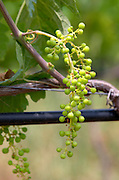 Irrigated vines. Unripe grapes. Merlot. Kir-Yianni Winery, Yianakohori, Naoussa, Macedonia, Greece