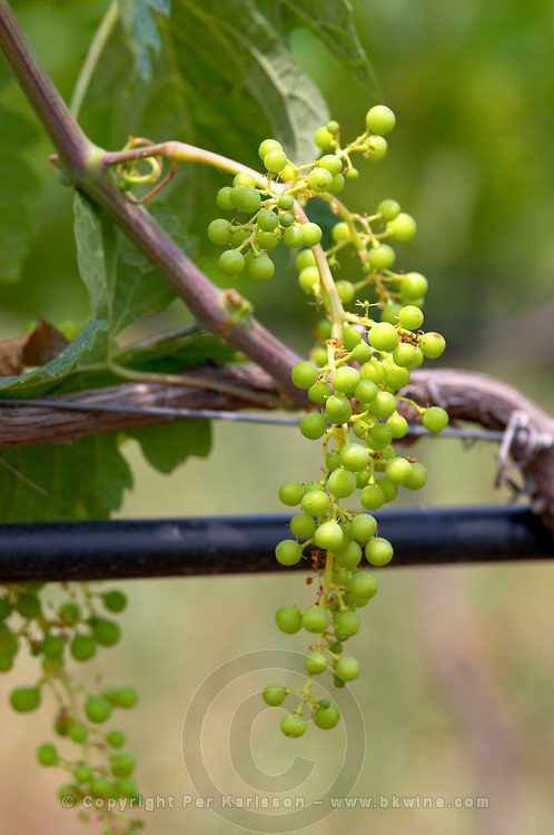 Irrigated vines. Unripe grapes. Merlot. Kir-Yianni Winery, Yianakohori, Naoussa, Macedonia, Greece