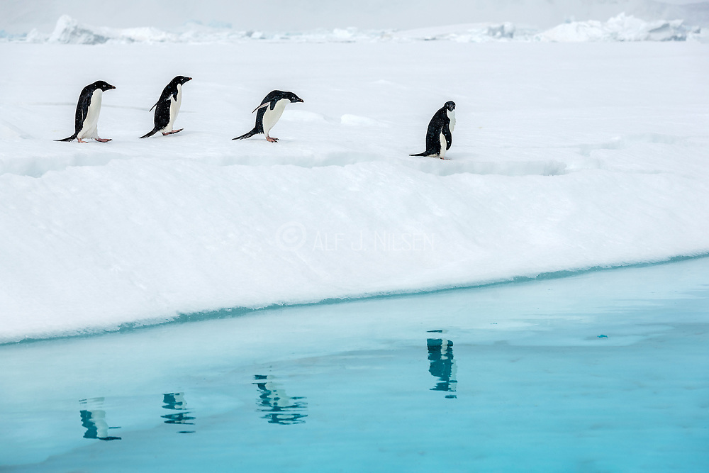 Penguin reflection.  Adelie penguins (Pygoscelis antartica) reflect in the ice cold Antartic water at Madder Cliffs, Kinnes Cove, Paulet island, Antarctica.
