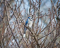 Blue Jay perched on a branch. Image taken with a Nikon D300 camera and 80-400 mm VR lens (ISO 200, 400 mm, f/5.6, 1/500 sec).