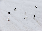 "Gentoo Penguins (Pygoscelis papua) waddle down a snow bank to feed at sea, on an island offshore from the Antarctic Peninsula, Antarctica. An adult Gentoo Penguin has a bright orange-red bill and a wide white stripe extending across the top of its head. Chicks have grey backs with white fronts. Of all penguins, Gentoos have the most prominent tail, which sweeps from side to side as they waddle on land, hence the scientific name Pygoscelis, ""rump-tailed."" As the the third largest species of penguin, adult Gentoos reach 51 to 90 cm (20-36 in) high. They are the fastest underwater swimming penguin, reaching speeds of 36 km per hour."