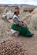 Bolivia June 2013. Altiplano. Viacha. Potato harvest. Gellermina Quispe with potato harvest.