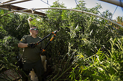 August 6, 2016 - Merced County Sheriff's Deputy Hugo Bucio, removes marijuana plants while serving a search warrant at a house off of Highway 59 in unincorporated Merced County, Calif., Saturday, Aug. 6, 2016. The Sheriff's Department seized about 3,700 pounds of marijuana plants. According to Sgt. Ray Framstad, the Merced County Sheriff's Department has seized about 27,000 marijuana plants in 2016. (Credit Image: © Andrew Kuhn/The Merced Sun Star via ZUMA)