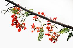 Royal Poinciana Tree Delonix Regia #7