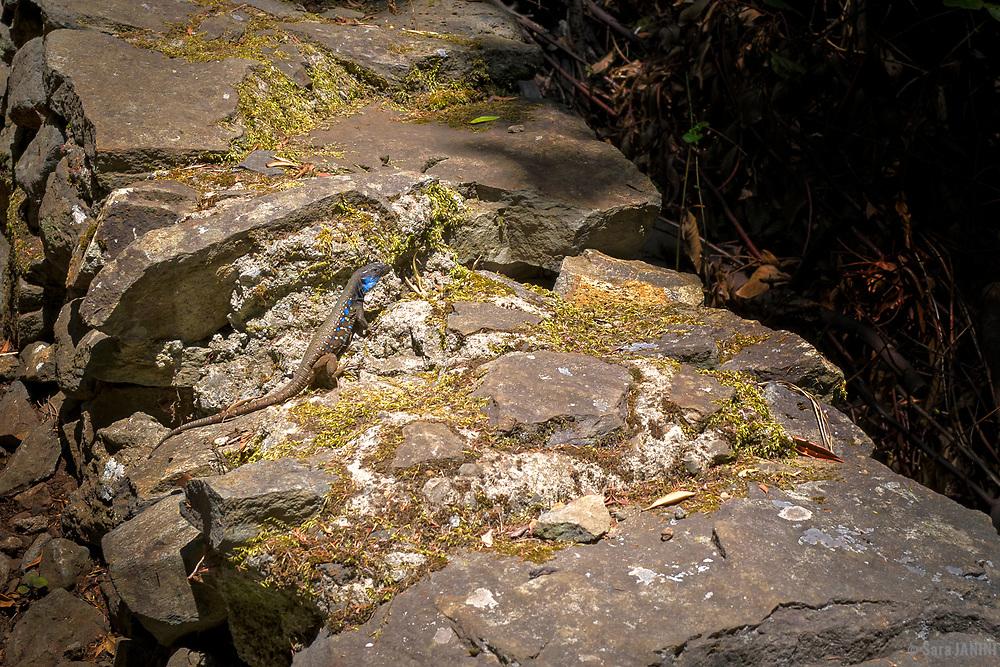 Lagarto de Canarias (Gallotia galloti), Bosque de Laurisilva, Parque Cultural La Zarza, Garafía, La Palma, Canarias, España, Europa