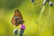 Great spangled fritillary butterfly (Speyeria cybele)<br />