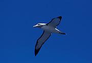 Shy Mollymawk, Diomedea cauta, in flight, New Zealand, blue sky background, albatross, largest species of mollymawk