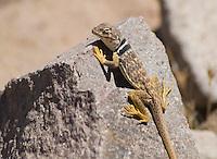 Great Basin collared lizard, Crotaphytus bicinctores. Sloan Canyon National Conservation Area, Nevada