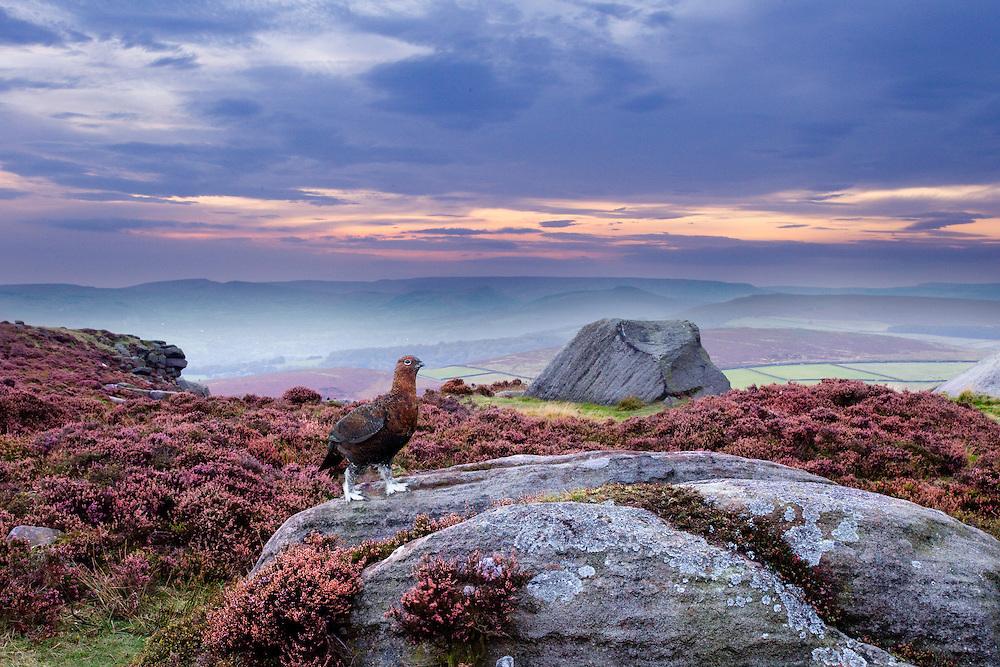 Red grouse, Lagopus lagopus, on heather moorland showing habitat, Peak District National Park, UK, September