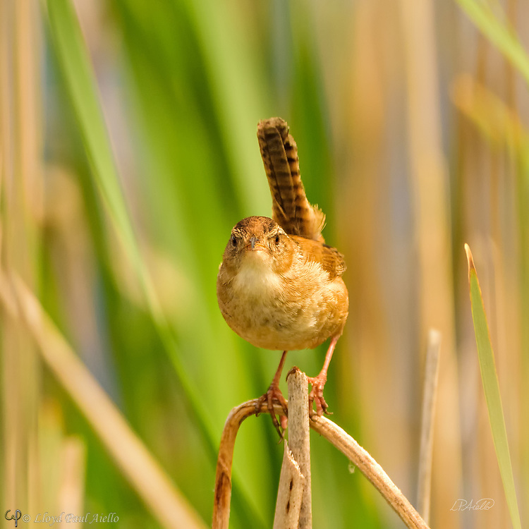 """The Marsh Wren (Cistothorus palustris) is a small, formally common, North American songbird inhabiting cattail marshes whose numbers have declined with the loss of suitable wetland habitat. Draining of marshes leads to its local extinction.  <br /> <br /> These birds forage actively in vegetation, sometimes flying up to catch insects in flight. They mainly eat insects, but may also consume spiders and snails.  The Marsh Wren sings all day and throughout the night producing a gurgling, rattling trill often used to declare ownership of its territory.<br /> <br /> The nest is an oval lump of woven wet grass, cattails, and rushes, which is lined with fine grass, plant down, and feathers.  It is attached to marsh vegetation and entered from the side. Industrious male Marsh Wrens build """"dummy nests"""" in their nesting territories, occasionally up to twenty or more, although most are never used for raising young.  <br /> <br /> Normally four to six eggs are laid twice each year, although the number can range from three to ten.  The eggs are generally pale brown and heavily dotted with dark brown; although sometimes they may be all white. Only the female incubates the eggs which hatch after 13-16 days. The young leave the nest about 12-16 days after hatching."""