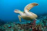 Green Sea Turtle, Chelonia mydas, swims over a coral reef in Juno Beach, Florida, United States. Image available as a premium quality aluminum print ready to hang.
