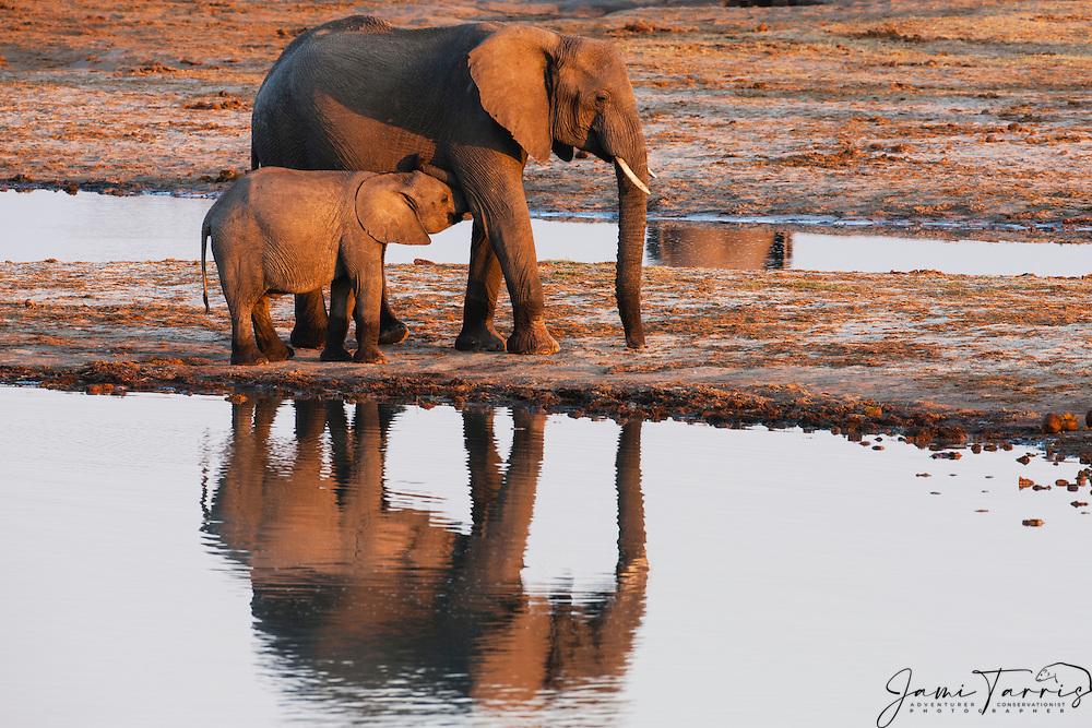An elephant nursing her calf (Loxodonta africana)at a water hole at sunset, Hwange National Park, Zimbabwe,Africa