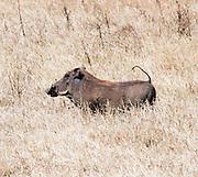 Africa, Tanzania, Lake Manyara National Park, Warthog (Phacochoerus africanus).