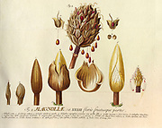 18th century Coloured Copperplate engraving of a cross section and parts of a magnolia flower from hortus nitidissimus by Christoph Jakob Trew (Nuremberg 1750-1792)