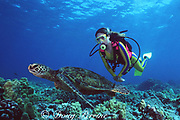 diver & juvenile green sea turtle, Chelonia mydas, Kaupulehu, Kona, Hawaii ( the Big Island ), USA ( Central Pacific Ocean ) MR287