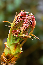 Emerging shoots of a tree peony
