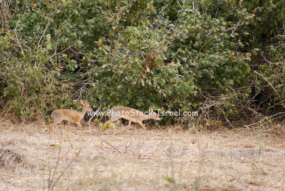 Africa, Tanzania, Gunther's long snouted Dik dik (Mandoqua guntheri) the smallest antelopes