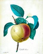 19th-century hand painted Engraving illustration of a Calville Blanc (Apple) by Pierre-Joseph Redoute. Published in Choix Des Plus Belles Fleurs, Paris (1827). by Redouté, Pierre Joseph, 1759-1840.; Chapuis, Jean Baptiste.; Ernest Panckoucke.; Langois, Dr.; Bessin, R.; Victor, fl. ca. 1820-1850.