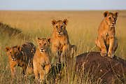 Lion cubs (Panthera leo) awaiting the return of the pride from hunting, Masai Mara, Kenya