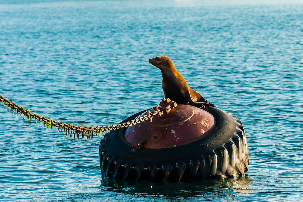Seal, Monterey Bay, California USA