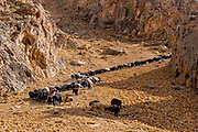 Sheppard with his sheeps on a steep hill, Yakawlang province, Bamyan, Afghanistan
