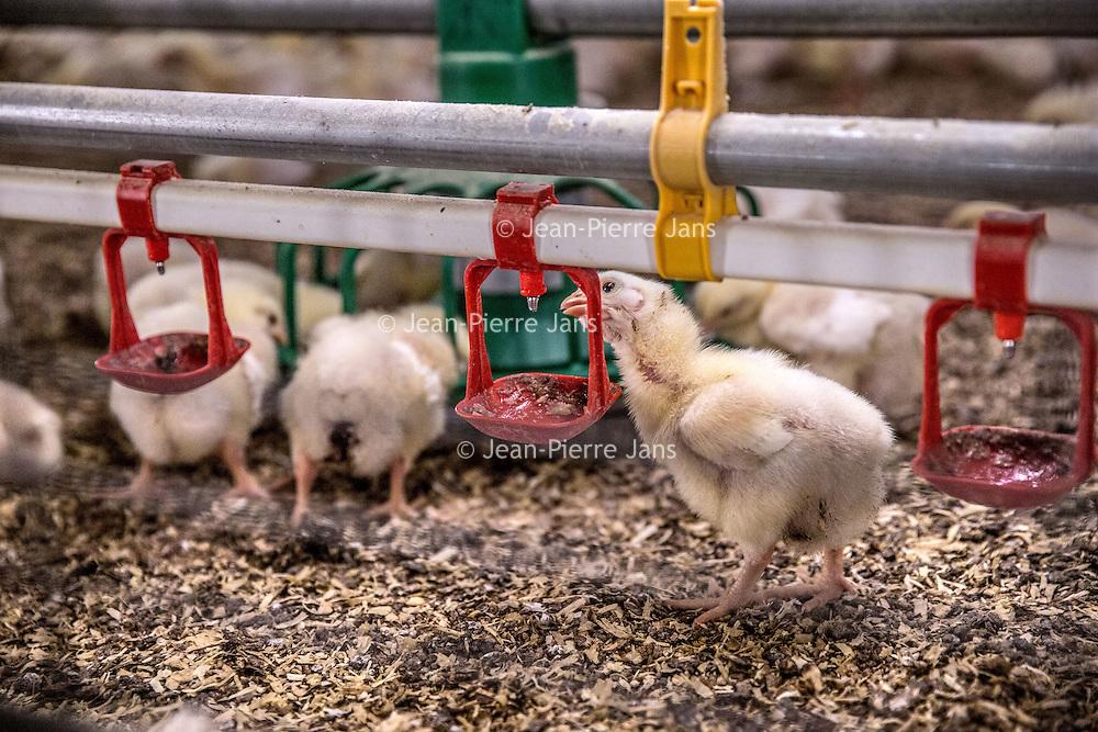 """Nederland, Vessem, 1 april 2016.<br /> klik een willekeurig pers- of nieuwsbericht aan, en je ziet inderdaad dat de term 'duurzaam' vaak verkeerd gebruikt wordt en alleen op dierenwelzijn slaat.<br /> De Brabantse pluimveehouder Marcel Kuijpers wil daar verandering in brengen door een korte keten te creëren zonder transport. <br /> In zijn huidige stal, in de buurt van het Brabantse dorp Vessem, is net een nieuwe lichting eieren binnengekomen. Met enige worsteling wurmen de natte, donzige kuikentjes zich uit hun schalen, om zich na een half uurtje uitrusten gretig op het voedsel en drinkwater te storten. Binnenin de stal is het meer dan 33 graden. Kuijpers loopt langs de 'patio'; vier rijen van zes lagen boven op elkaar, met in totaal 30.000 vleeskuikens.<br /> Zijn plan is – al meer dan tien jaar – om dat aantal uit te breiden naar bijna één miljoen. In het Limburgse Grubbenvorst wil hij een 'duurzame megastal' bouwen. De Raad van State moet echter nog een besluit nemen over de vergunningen. Gevoelig, want het zou de grootste kippenstal in Nederland worden. Gemiddeld hebben 'megastallen' ongeveer 150.000 kippen. Het plan stuit dan ook van begin af aan op hevige weerstand van actiegroepen en dierenwelzijnsorganisaties. <br /> Kuijpers zegt echter in volle overtuiging dat zijn project 'duurzaam en diervriendelijk' is. Naast de megastal moet een bio-energiecentrale, een broederij en een slachterij komen. Ook zit er even verderop een varkensbedrijf en het is de bedoeling dat de glastuinbouw gaat meedoen. De ondernemers verenigen zich samen onder de naam 'Nieuw Gemengd Bedrijf'. <br /> ,,Integrale duurzaamheid,"""" noemt Kuijpers het. De mest wordt gebruikt om de stallen te verwarmen en het transport valt weg doordat alles op één locatie zit. ,,Geen gesleep meer met kippen. Daardoor daalt het stressniveau, voelen de kippen zich beter en wordt het vlees lekkerder.""""<br /> <br /> Vessem, the Netherlands, april 1st 2016<br /> Click any press or news item and you will see that """