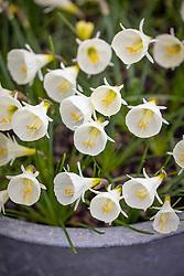Narcissi bulbocodium 'White Petticoat'