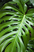 Giant green leaves of split-leaf philodendron (monstera deliciosa).