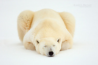 Polar bear sleeping