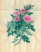 ROSA Eglanteria, multiplex, Double Eglantine Rose, or Williams's Sweetbriar. From the book Roses, or, A monograph of the genus Rosa : containing coloured figures of all the known species and beautiful varieties, drawn, engraved, described, and coloured, from living plants. by Andrews, Henry Charles, Published in London : printed by R. Taylor and Co. ; 1805.